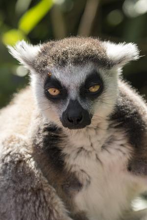 lemur of madagascar while eating on a tree