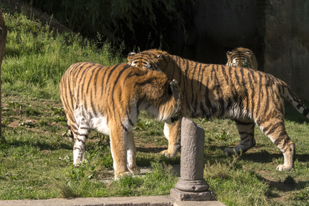 two tigers fight in a zoo in italy Imagens