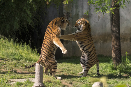 two tigers fight in a zoo in italy Stock Photo