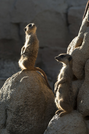 meerkats keep watch on a rock in italy Stock Photo
