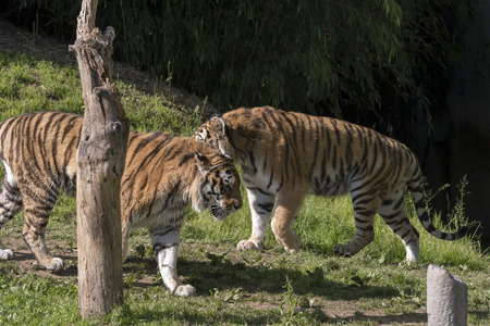 tiger resting in a zoo in italy