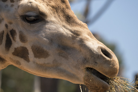 details of a giraffe in a zoo in italy Фото со стока