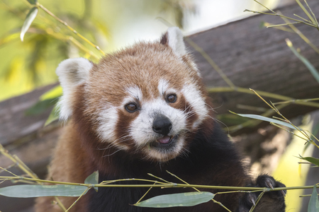 red panda on a tree while resting Imagens