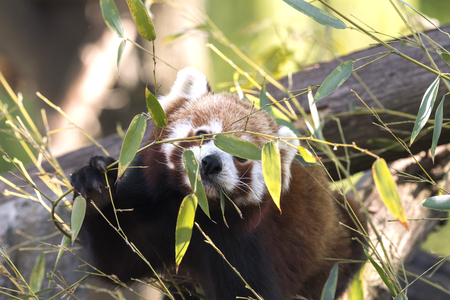 red panda on a tree while resting Banco de Imagens