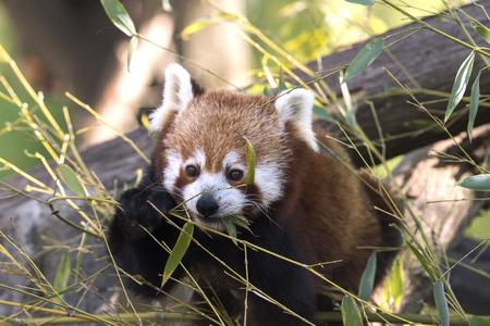 rode panda op een boom tijdens het rusten