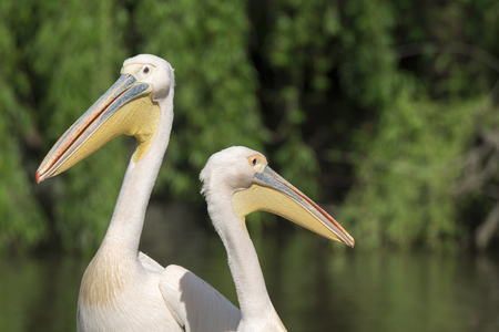 close-up of a white pelican in Italy