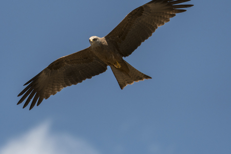 black kite in flight during a show