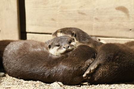otters sleeping in a zoo in Italy