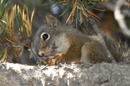 squirrel eating a cone in Yellowstone National Park in united states of america Фото со стока
