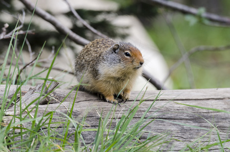 chipmunk squirrel on the shores of Lake Louise in Canada