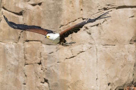 eagle in flight during a show