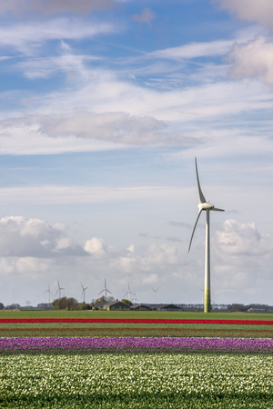 landscape with wind turbines and tulips in Flevoland in Holland