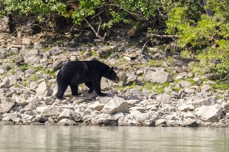 brown bear on the banks of the Blue River in Canada
