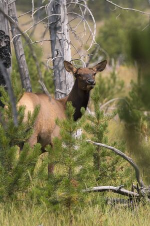deer in Yellowstone National Park in Wyoming 版權商用圖片 - 127262669