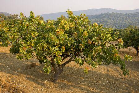 pistachio tree at sunset at Aegina in Greece