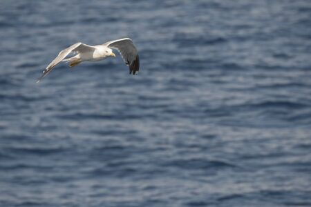 seagull in fly on the sea in Greece