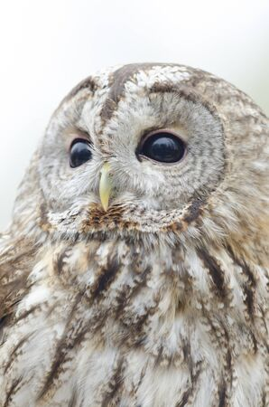 tawny owl, nocturnal bird of prey in Italy