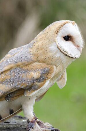 barn owl, nocturnal bird of prey in Italy