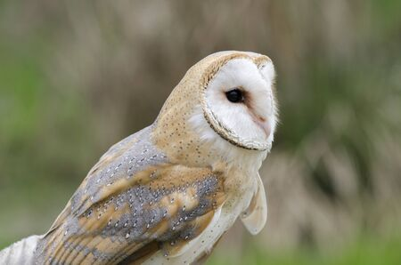 barn owl, nocturnal bird of prey in Italy
