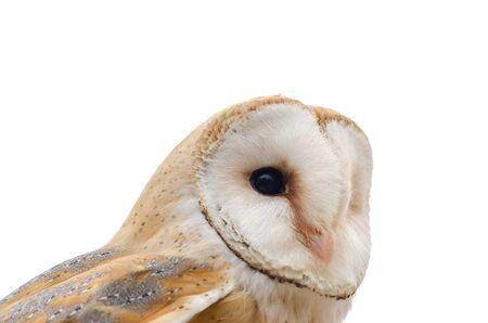 Effraie des clochers, oiseau de proie nocturne en Italie Banque d'images