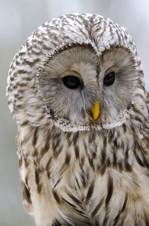 tawny owl, nocturnal bird of prey in Italy