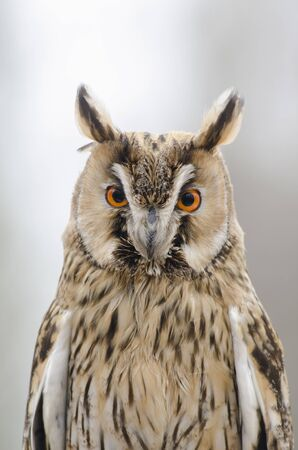 eagle owl, nocturnal bird of prey in Italy 版權商用圖片