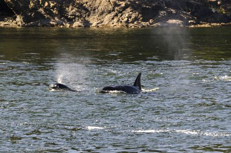 killer whales on the coasts of Vancouver island in Canada