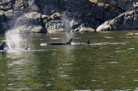 killer whales on the coasts of Vancouver island in Canada 스톡 콘텐츠 - 139861586