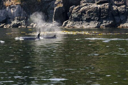 killer whales on the coasts of Vancouver island in Canada 스톡 콘텐츠 - 139861716