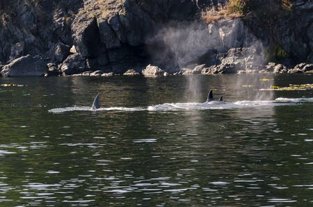 killer whales on the coasts of Vancouver island in Canada 스톡 콘텐츠 - 139861734
