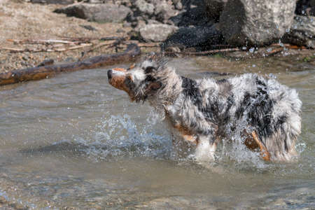 Australian shepherd dog runs on the shore of the Ceresole Reale lake in Piedmont in Italy