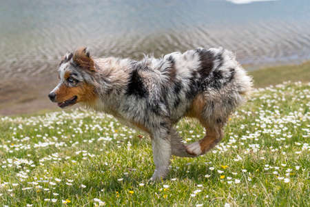 blue merle Australian shepherd dog runs and jump on the meadow in colle del nivolet in piedmont in Italy 版權商用圖片