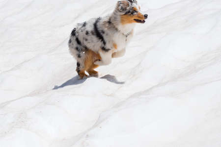 blue merle Australian shepherd dog runs and jump on the snow in colle del nivolet in piedmont in Italy 版權商用圖片