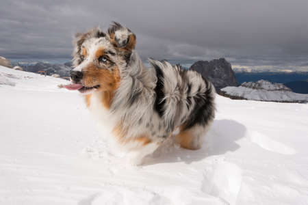 blue merle Australian shepherd dog runs on snow in Sass Pordoi in Trentino Alto Adige in Italy