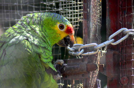 not open: PARROT, trying to open the door of his cage, I BELIEVE CAN NOT BREAK THE CHAIN Stock Photo