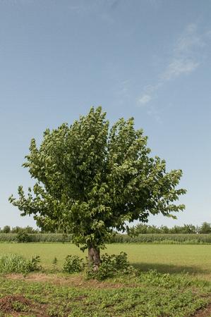 田舎の桑の木 写真素材
