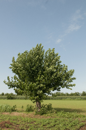 mulberry tree in the countryside Stock Photo