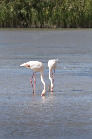 volatile: flamingos in the lagoon in the Camargue, France