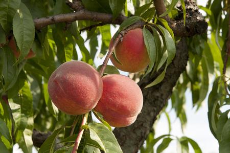 桃の木 写真素材