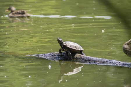 skin diving: turtle in the water