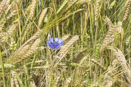 wheat field: cornflowers in a wheat field