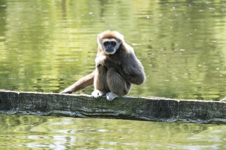 hominid: White-Handed Gibbon Stock Photo