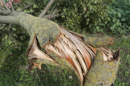 tearing down: A tree torn by the wind during a violent storm