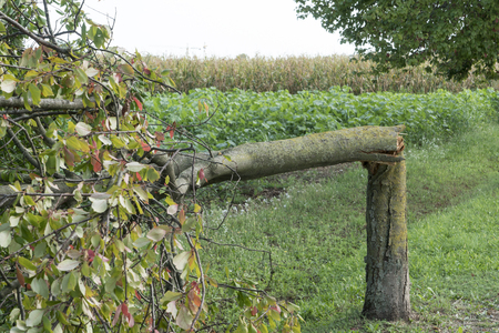 alte: A tree torn by the wind during a violent storm