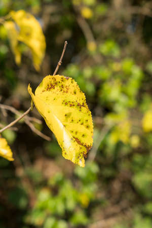 yellow leaves on the tree in autumn Stock Photo