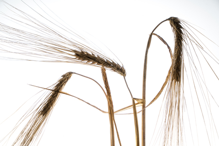 some ears of wheat in backlight with a white background Stock Photo