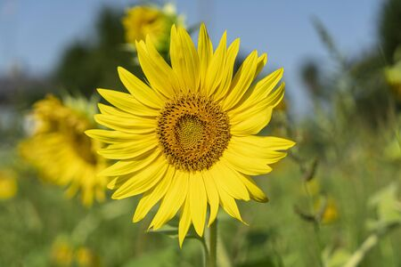 a sunflower in a sunny field