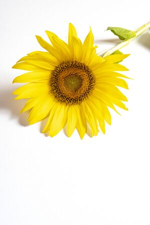 a sunflower on a white table Stock fotó