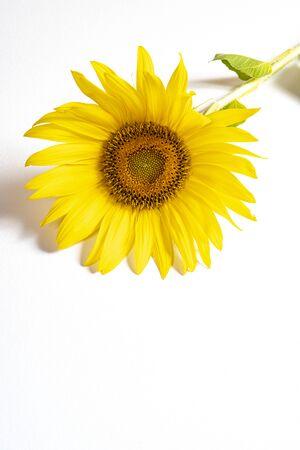a sunflower on a white table Stok Fotoğraf