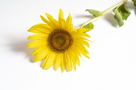 a sunflower on a white table Stock Photo